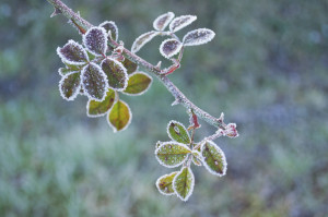 Bramble branch covered in frost